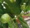 Jus mengkudu buah pace