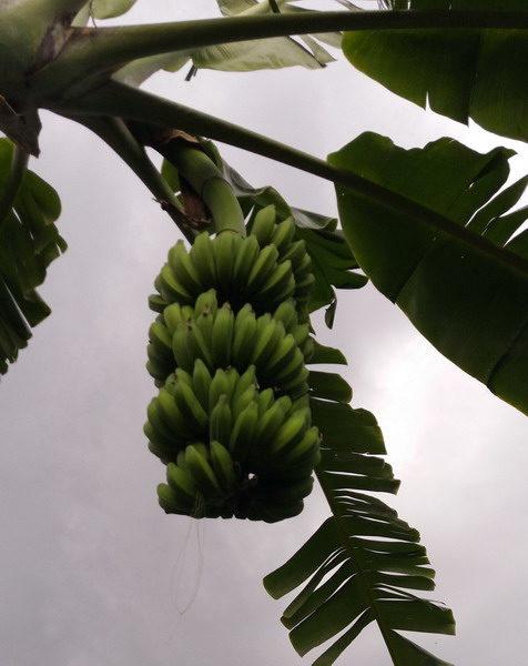 Manfaat kesehatan buah pisang